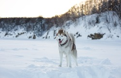 Portrait of prideful dog breed siberian husky standing on the ice floe of tthe frozen sea at sunset. Gorgeous husky topdog is observing endless sea