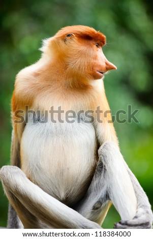Portrait of proboscis monkey endemic of Borneo island in Malaysia - stock photo