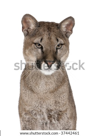 Portrait of Puma cub, Puma concolor, 1 year old, sitting against white background, studio shot