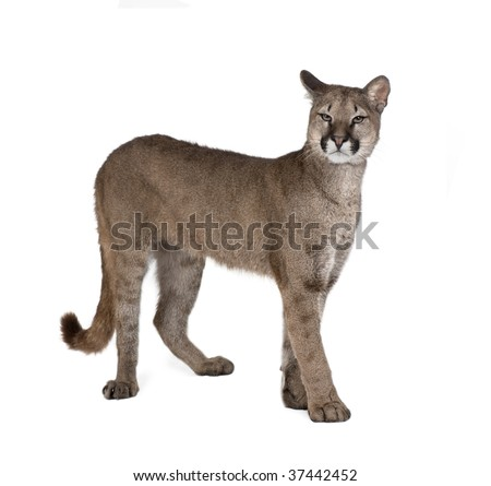 Portrait of Puma cub, Puma concolor, 1 year old, standing against white background, studio shot