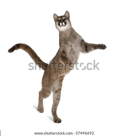 Stock Photo Portrait of Puma cub, Puma concolor, 1 year old, walking on hind legs against white background, studio shot