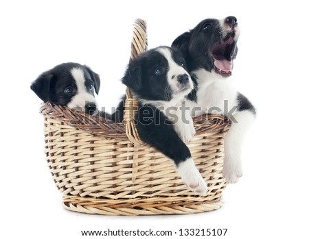 portrait of puppies border collies in a basket in front of white background