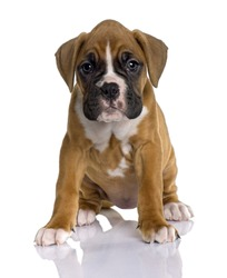 Portrait of Puppy Boxer, 2 months old, sitting in front of white background