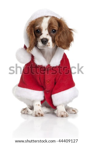 Portrait of puppy Cavalier King Charles Spaniel, 4 months old, dressed in Santa coat in front of white background