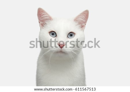 Stock Photo Portrait of Pure White Cat with blue eyes on Isolated Background, front view