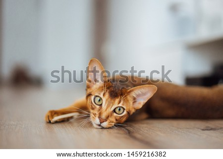 Portrait of purebred abyssinian cat laying on the wooden floor #1459216382