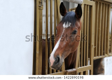 Portrait of purebred chestnut horse in stall box. #1422890198