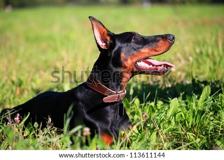 Portrait of purebred dobermann dog on the meadow