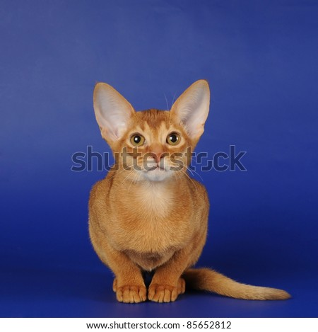 Portrait of purebred red abyssinian kitten sits on blue background