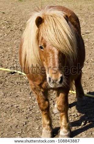 portrait of purebred shetland pony