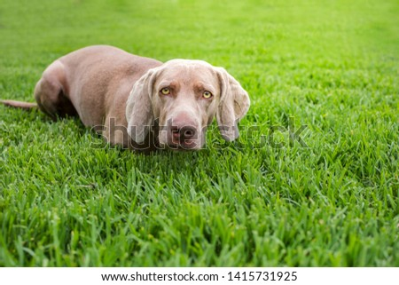 Portrait of Purebred Weimaraner, in position of a hunter dog, in the nature. Looking directly at camera. #1415731925