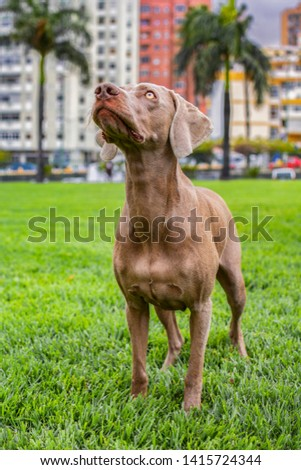 Portrait of Purebred Weimaraner standing dog, on the green lawn of the park, with the buildings of the city behind. #1415724344