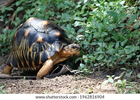 Portrait of radiated tortoise,The radiated tortoise eating flower ,Tortoise sunbathe on ground with his protective shell ,cute animal ,Astrochelys radiata ,The radiated tortoise from Madagascar