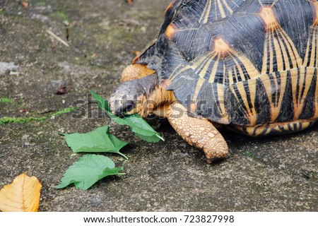 Portrait of radiated tortoise,The radiated tortoise eating leaves ,Tortoise sunbathe on ground with his protective shell ,cute animal ,Astrochelys radiata