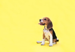 Portrait of red cute young beagle puppy on the yellow background. Copy space.