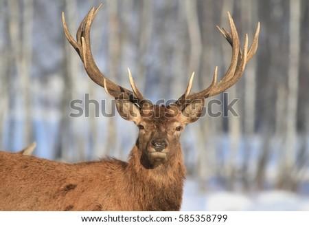 Portrait of red deer in winter landscape #585358799