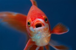 Portrait of red fish with open mouth on blue background selective focus, Front view of aquarium goldfish, Macro close up, Surprised or amazed face closeup
