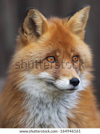 Portrait of red fox male, vulpes vulpes. The head a beautiful forest wild beast. Smart look of a dodgy vulpes, skilled raptor and elegant animal. Cute and cuddly creature. #164946161