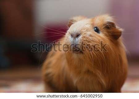 Portrait of red guinea pig. Close up. #645002950