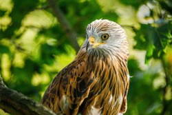Portrait of red kite, Milvus milvus, isolated on green background. Endangered bird of prey with red feather. Cute bird with beautiful eyes and feather. Wildlife scene. Habitat Europe, Africa.