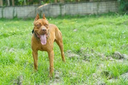 Portrait of red nose American pitbull terrier in a green meadow.