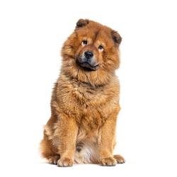 Portrait of reddish coated Chow Chow dog sitting