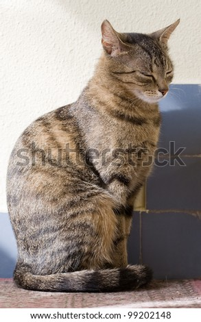Portrait of relaxed looking young female tabby housecat.