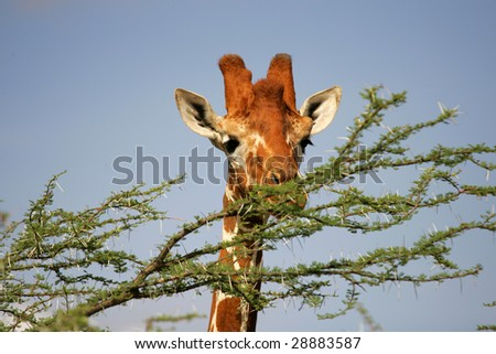Portrait of Reticulated Giraffe feeding in Buffalo Springs National Park Kenya Africa