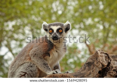 Portrait of ring-tailed lemur (Lemur catta) sitting on old tree trunk. Monkey in alert. Habitat Madagascar, Africa.