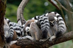 Portrait of ring-tailed lemurs, Lemur catta, sleeping and relaxing on branch. Family of lemurs grouped together. Social behavior of primates. Endangered animals. Wildlife scene with cute mammals.