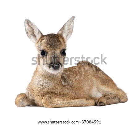 Portrait of Roe Deer Fawn, Capreolus capreolus, 15 days old, sitting against white background, studio shot
