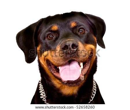 Portrait of Rottweiler Dog isolated on a white background