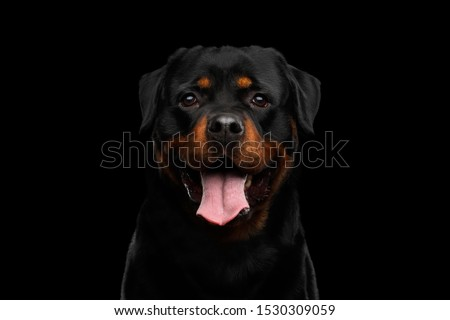 Portrait of Rottweiler Dog Looking in Camera with hope, Isolated on Black Background, front view Zdjęcia stock ©