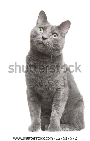 portrait of russian blue cat with green eyes sitting on isolated white background