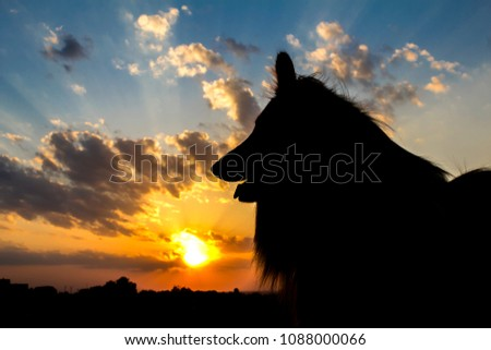 Portrait of sable and white Long-haired (Rough Collie) silhouette behind sunset in the evening. #1088000066