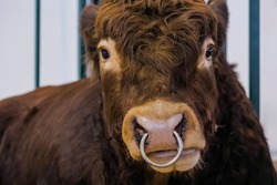 Portrait of sad large brown Limousin bull looking at camera and crying at agricultural animal exhibition, cattle trade show - french breed, close up. Farming and animal husbandry concept