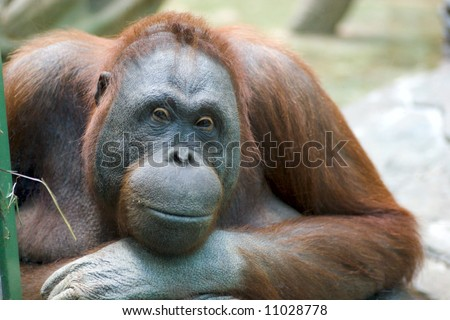 Portrait of sad pensive female orangutang