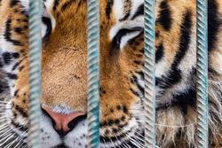 Portrait of sad tiger in a cage. Сaptive animal.