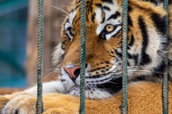 Portrait of sad tiger in a cage. Сaptive animal.