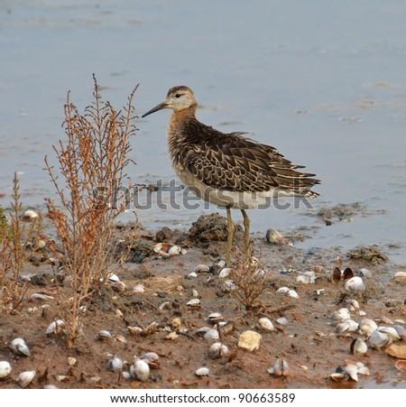portrait of sandpiper in the marsh