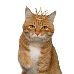 Portrait of Satisfied Red Cat with crown on head and taken his paw for kiss on Isolated white background
