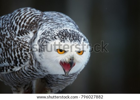 Portrait of screaming Snowy owl, Bubo scandiacus from direct view. Famous white owl with black spots, bright yellow eyes and opened beak.  Animal action scene, winter, Manitoba, Canada.