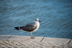 Portrait of seagull standing in border tagus river in Lisbon