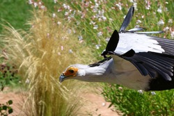 Portrait of secretary bird, saggitarius serpentarius, in flight