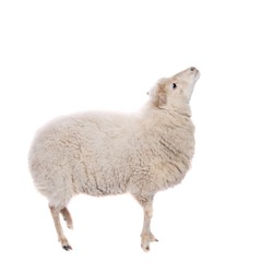Portrait Of sheep  On White