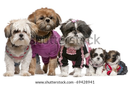 Portrait of Shih Tzus dressed up in front of white background