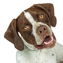 Portrait of Shorthaired Pointer breed dog tilting head and looking into camera
