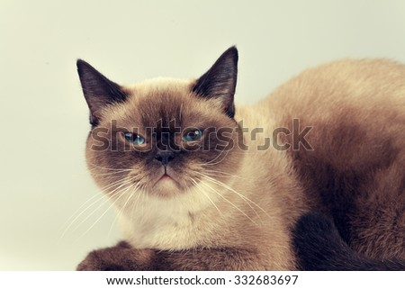 Portrait of siamese cat #332683697