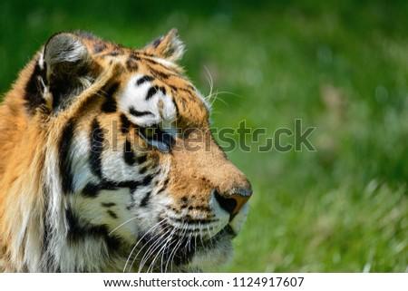 Portrait of Siberian Amur tiger Panthera Tigris Tigris in Summer #1124917607