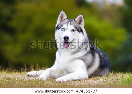 portrait of siberian husky